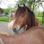 Pferde-auf-der-Koppel
