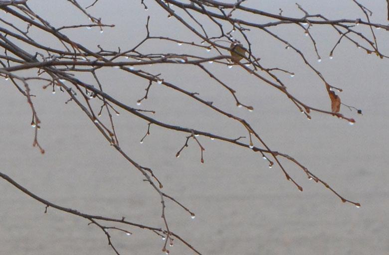 Tropfen ian den Zweigen eines Baumes